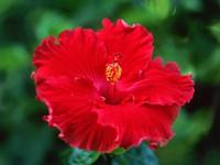 Красная китайская роза