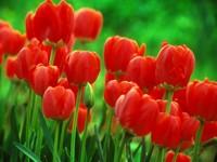 Красные тюльпаны в весеннем саду