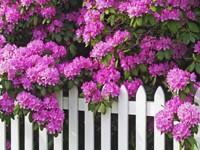 Цветущая сирень на заборе