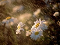 Ромашки под дождем