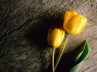 Два желтых тюльпана на дереве