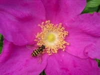 Пурпурный цветок с пчелкой