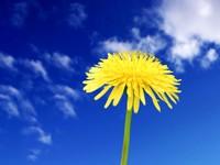 Желтый одуванчик на фоне неба