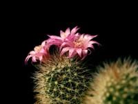 Цветущий кактус розовыми цветами