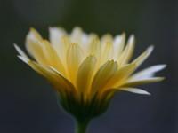 Раскрывающийся цветок