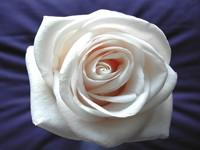 Бутон белой розы