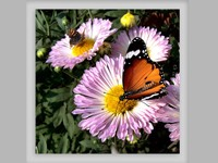 Бабочки на сиреневых цветах