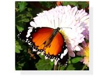 Бабочка на белых цветах