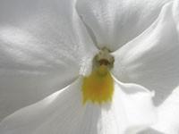 Желтый пестик белого цветка