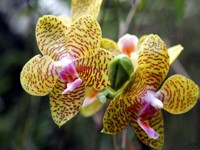 Орхидея тигровая