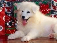 Белый щенок с подарками