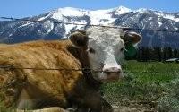 Корова и горы