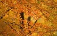 Клен осенью