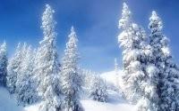 Пушистые елки в снегу