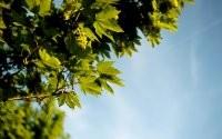 Зеленый клен