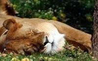 Спящий хищник