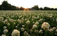 Поле из цветов