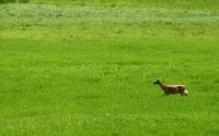 Антилопа на лужайке