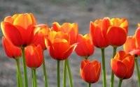 Ярко красные тюльпаны