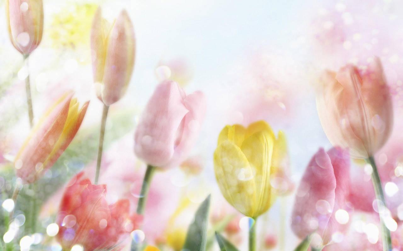 Цветы тюльпаны нажмите на картинку