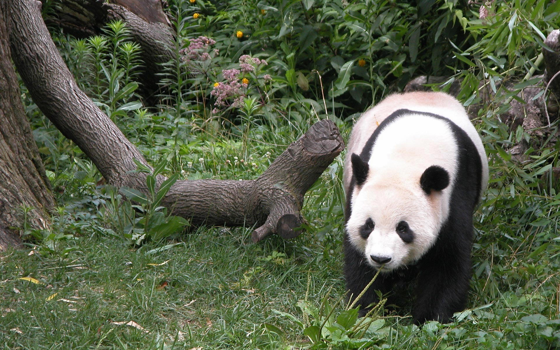 Панда у бревна
